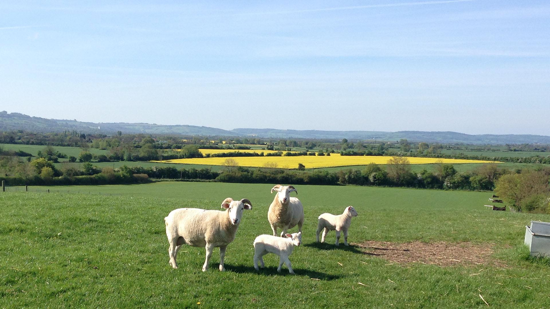 Finnick-Sheep